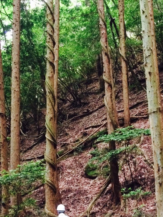 スギやヒノキに巻き付く藤の蔓を直接みるのもほぼはじめて。