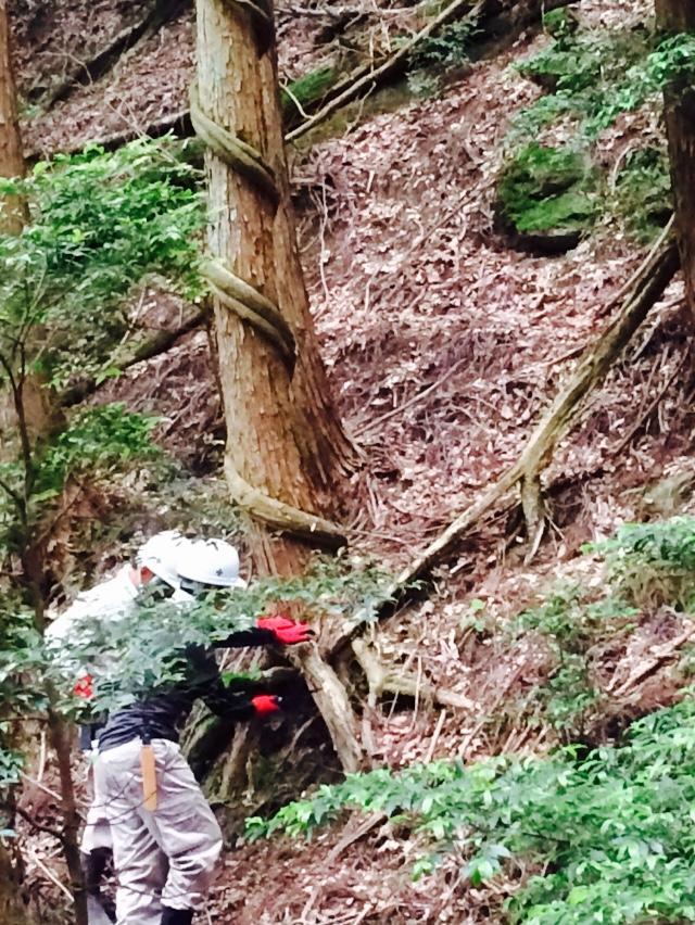 映画なら神秘的な景色になりそうですが、 藤の蔓が巻いていると木が枯れてしまうので、根っこを切断してまわりへの広がりをストップさせます。