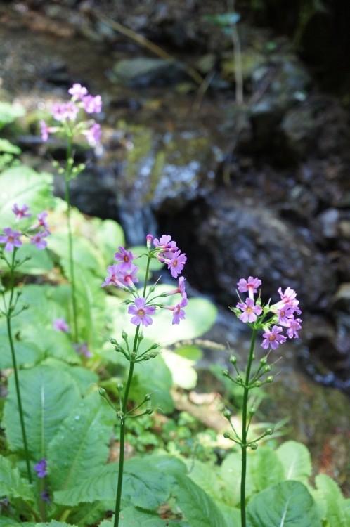クリンソウは川の端に沿って咲くので小川をバックに咲く花のなんと可憐なこと。