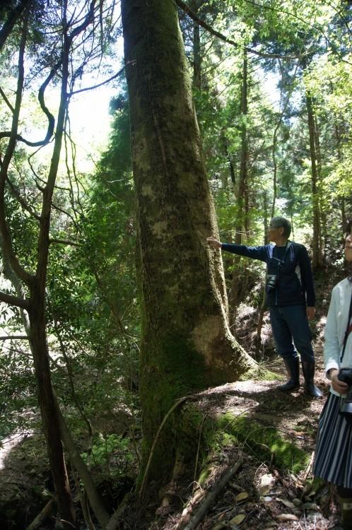 森の中でひときわ大きく育った針葉樹。樹齢どれくらいなんだろうか・・・。