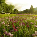三ツ塚花しょうぶ園で想う「燕子花屏風」