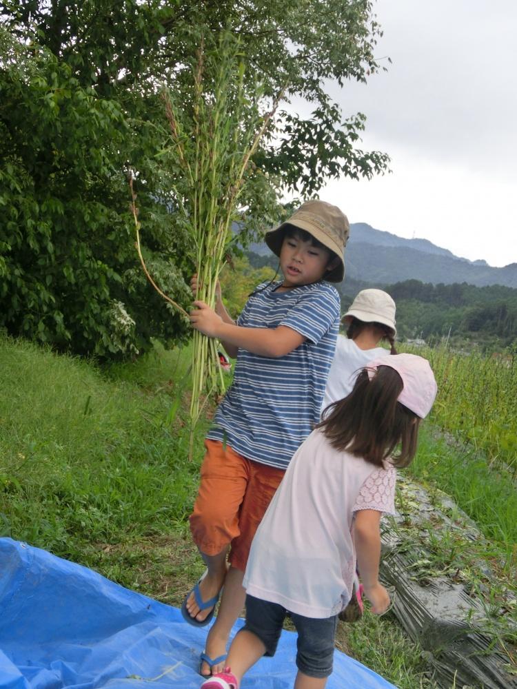 刈り取ったごまの束をたばねて運ぶ子どもたち。